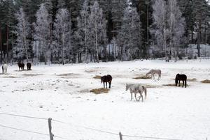Hämtas snart. De vanvårdade hästarna kommer snart att omhändertas av djurskyddspolisen, som först den 21 januari fick svar på de frågor de hade för att kunna hämta hästarna.