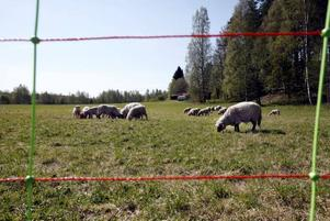 Ett får försvann från Högbo Bruk. Inga hål fanns i stängslet. Polisen tror att någon eller några lyfte den 100 kilo tunga tackan över stängslet.