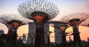 Vissa av dessa jätteträd är upp till 50 meter höga.