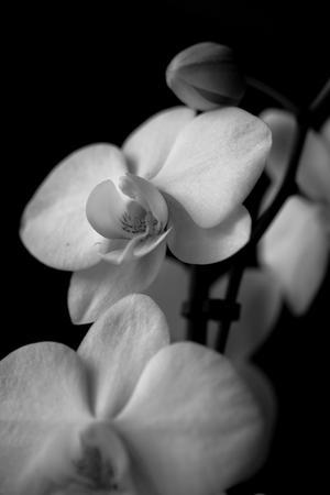 Orkidé i svartvitt.