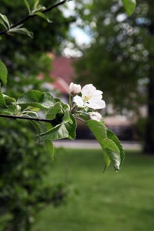 Just nu står äppelträdet i full blom. När GD tittar förbi är det obevakat – men i helgen kommer beskyddare, enligt Sylve Rolandsson, pomolog.