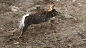 En förvildad kanin vid Karlbergsområdet i Stockholm.