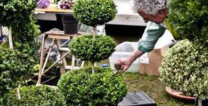 Buxbom låter sig villigt formklippas, finns i flera varianter är tålig och måtr fint både rabatt och kruka - och såklart är den grön året om.