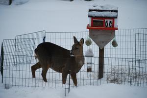 Ett hungrigt rådjur som trotsar staket och kompostgaller för att få något att äta. Det är första gången vi ser dem komma under dygnets ljusa timmar.