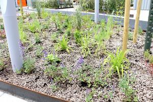 Bakom rabattkragar av cortenstål sticker rader av späda plantor upp.
