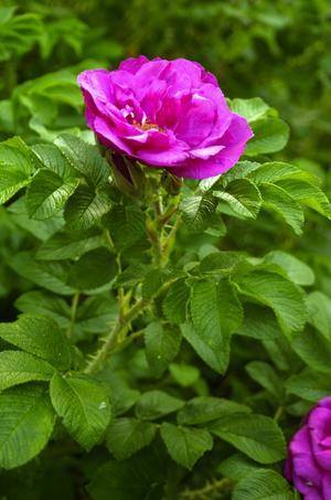 Jens Munk. Kanadensiska rosor är härdiga och kommer allt fler och växer allt mer i popularitet. Jens Munk på bilden växer sakta i början men blommar bra när den väl kommer igång.