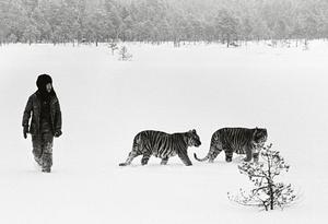 Pia Thörn under en skogstur med Lillan och Rani på en myr i gränstrakterna mellan Gagnef och Vansbro. Tigrarna skulle släppas i Ranthambhor nationalpark i Rajasthan, men projektet gick om intet och tigrarna hamnade i Kolmårdens djurpark. FOTO: RAGNAR NYBERG