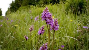 Skogsnycklar är en orkidéesort som är bra att försöka bevara.