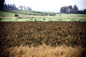 Ledningen ska dras genom åkermark i Hälsingtuna. Bönderna föreslår att dra ledningen längs den så kallade Nylandsvägen i stället.