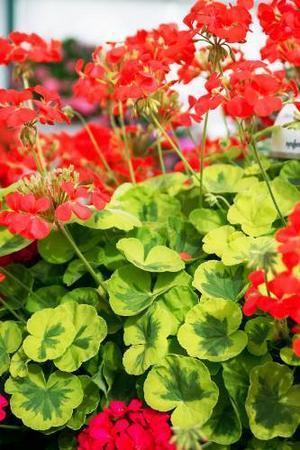 Brokbladiga pelargoner har utnämnts till Årets pelargon av Blomsterfrämjandet.