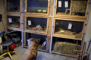 Hunden Putte släpper inte kaninburarna med blicken under hela intervjun. - Men han är mycket fredlig mot kaninerna och rör dem aldrig, intygar Johanna.