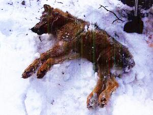 Den döda vargen hittades gömd under snö.