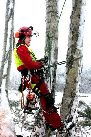 Kristofer Eliasson på väg upp i en lutande björk, utrustad med bland annat spikes på sina kängor och med kraftiga linor till sin hjälp.