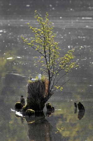 Trutar hittar alltid sina ställen att lägga ägg på. Denna gång på en rest av en dyktalb vid Borgåsund