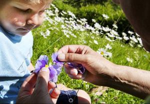 Den 17 juli berättade vi här i LT om hur Oskar Bergman och Gösta Olsson brukar leka med växter i naturen och om boken som Gösta gett ut. Artikeln inspirerade många att skriva in och berätta om sina egna växtlekar.Foto: Håkan Luthman