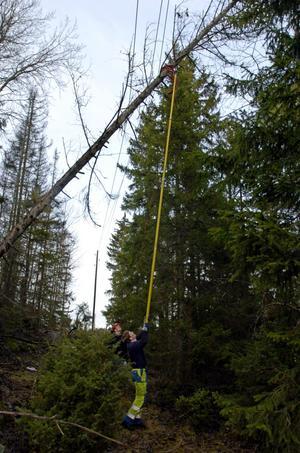 Efter Dagmar. Träd har fallit över elledningar och orsakat strömavbrott för många tusen hushåll.foto: scanpix