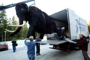 Det var på näppen att mammuten Sergej kom in i lastbilen när han skulle flyttas från Murberget till Docksta. Sergej är 2,55 meter hög och hade bara fem centimeter till godo upp till lastbilens tak.