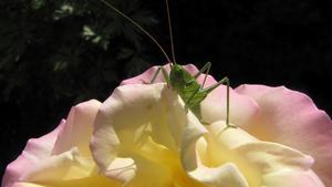 Vårtbitare som barrikaderat sig i en av våra härliga rosor.