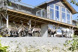När TH är på plats står renarna i grupper om ett tjugotal framför flera av stugorna i Höglandet. Några har tagit sin in bakom avspärrningar.