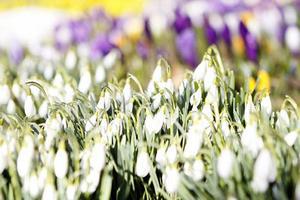 Snödroppar är en av de tidigaste blommorna.