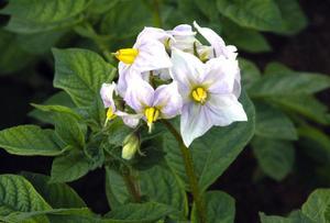 Blom. Potatisblomman är vacker. Foto:Berndt Norberg