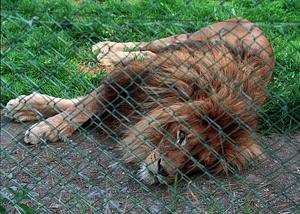 Åldern påverkar syn och leder och lejonen sover en stor del av dagen. Därför har Frösö zoo beslutat om avlivning.