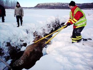 Räddningstjänsten lade ett rep runt älgkon och det var den rätta metoden                för  att få upp djuret.   Foto: Lars Erik Näslund/Räddningstjänsten