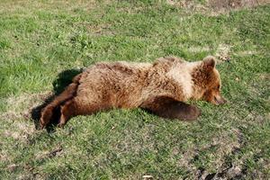 Den aktuella björnen är en 70 kilo tung hona med ljus halskrage, formad ungefär som en triangel. Foto: Länsstyrelsen