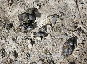 Det var för torrt i markerna för att det skulle bli några avtryck av björnens ramar, men ute på vägen lämnade den ett spår i form av avföring efter sig.