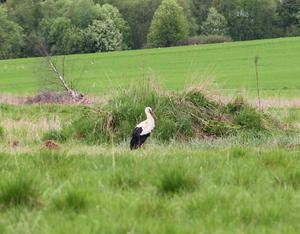 John Nyman i Föne upptäckte storken under måndagen.