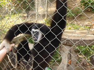 På vår semester på Phuket i februari 2011 så besökte vi några apor på Kata Hill. Denna apan var inte intresserad av bananen Linus erbjöd, ville istället ta tag i Linus arm. När vi var iväg tillbaka till Kamala så upptäckte vi att vi fått allt på bild.