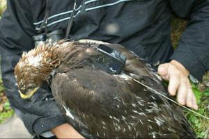 Forskare sätter ryggsäcksliknande sändare på kungsörnar för att se vad vindkraftsverk kan ha för inverkan på fåglarna.