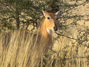 På safari i Ranthambore Tigerreservat i Indien såg vi många antiloper och andra vilda djur och spår av tiger.