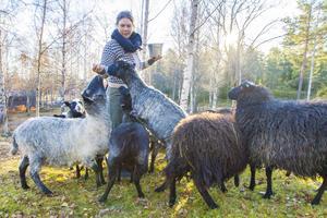 När Rut Olofsson kliver in i fårhagen flockas de snabbt kring henne.
