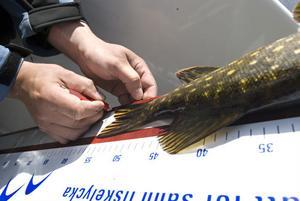 I tävlingen är det längst fisk som gäller. Varje fisk mäts mot en planka och fotograferas.