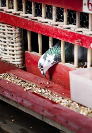 Vinnaren? Varje fågel är märkt med ett chip som en platta på fågelns hemgård kan läsa av. Sluttiden registreras och medelhastigheten avgör vilken brevduva som har vunnit.