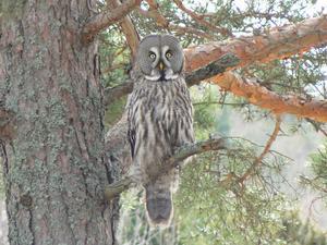 När jag var ut med mina hundar i skogen så såg jag den här ugglan sitta på en gren och kolla in oss när vi kom.