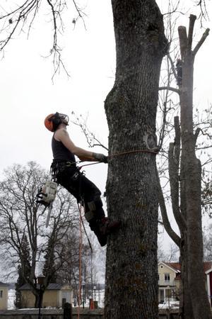 På väg uppåt? Att sikta mot trädtopparna är en bra inställning om man är arborist. Bild: JAN WIJK