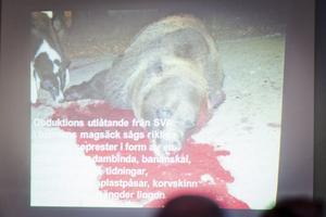 I den här björnens magsäck låg soprester i form av korvskinn, dambindor, bananskal, tidningar och mängder av lingon – en konsekvens av dålig sophygien.