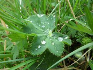 Det är så vackert med vattendropparna på daggkåpans blad-det glittrar som kristaller i solen.
