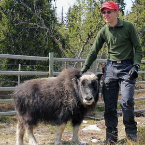 Hielke Chaudron arbetar som guide på myskoxcentrer i Härjedalen.