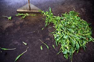 Överflödig grönska slängs ut till glada och nöjda rådjur.