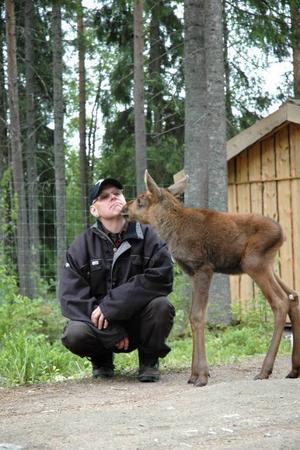 """ett ljus för kalle. För Lars Arkesjö är Kalle ett avslutat kapitel, han måste gå vidare i livet och ägna energin åt de                      andra älgarna i parken. Men händelsen har tagit hårt. """"Jag kommer aldrig att komma en älg så nära igen."""""""