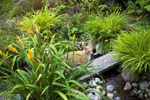 Djungelkänsla? Akilles gillar att rulla i kattmyntan och att smyga bland växterna kring bäcken och dammen som Gunilla anlagt.