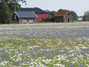 Blommande blåvitt fält