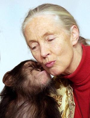 Celebert besök. Jane Goodall är en legend inom sitt forskningsområde. I går besökte hon Furuviksparken.