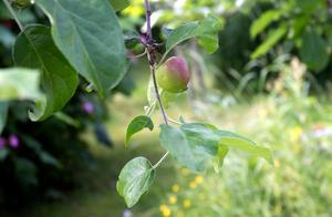 Säfstaholm. Moderträdet står på ett gods i Vingåker där Greider växte upp. Nu bär en ung ättling frukt i Floda.