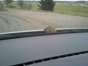 (I bilen på väg ut på landet). När jag svängt in på grusvägen tittar det upp en mus utanför rutan! Den har alltså åkt med från stan. Det ser ut som den njuter av det vackra utsikten! Helt lugn. Inte varje dag man får besök av en mus när man är ute och kör.