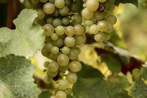 Italiensk Prosecco görs ofta på gröna Glera-druvor. Tidigare hette druvan prosecco.