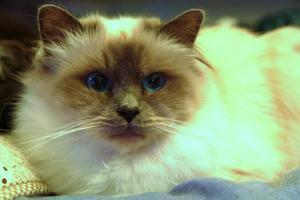 Bella, blåmaskad helig birma, 2 år. Ägare: Rosalie Jonsson, Ludvika.